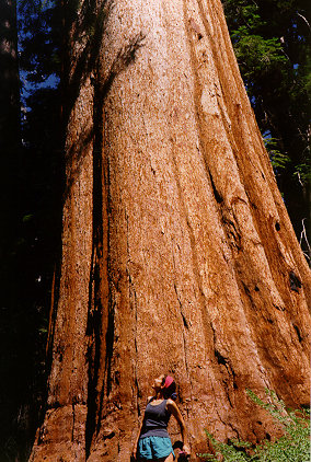 Redwood-Tree-Kristen