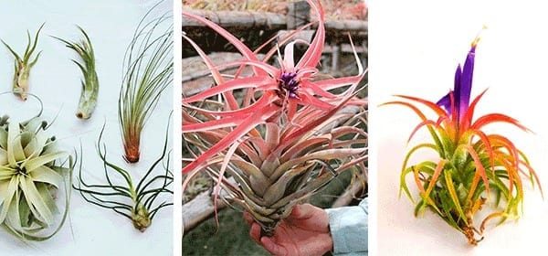 air-plants-air-plant-shop